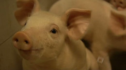 Monsanto — Patent For A Pig